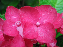 Pink hydrangea flower. In drops of rain Stock Photos