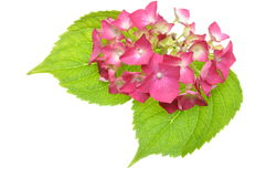 Pink hydrangea flower with green leaves Royalty Free Stock Images