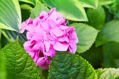 Pink Hydrangea flower Hydrangea macrophylla blooming in spring stock image