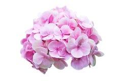 Pink hydrangea flower isolation on white. Background Royalty Free Stock Photos