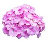 Pink hydrangea flower isolation on white. Background Stock Image