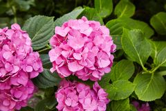 Pink Hydrangea flower Hydrangea macrophylla blooming in spring and summer in a garde royalty free stock photo