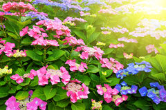 Pink Hydrangea flower Stock Photo