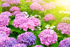 Pink Hydrangea flower Royalty Free Stock Image