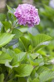 Pink hydrangea flower. stock photography