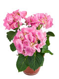 Pink hydrangea flower in a pot Stock Photo