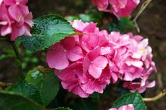 Pink hydrangea flower in rainy day, garden stock photography
