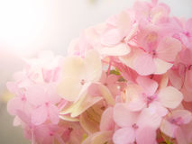 Pink Hydrangea flower Stock Images