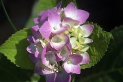 Free Pink Hydrangea Flowers Royalty Free Stock Image - 218327476