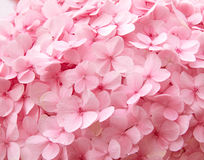 Pink hydrangea flowers background Stock Images