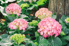 Pink hydrangea flowers blossom Royalty Free Stock Photography
