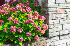 Pink hydrangea flowers bush Stock Photo
