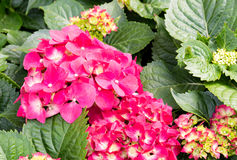 Pink hydrangea flowers Royalty Free Stock Photos