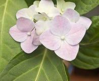 Pink hydrangea flowers Stock Photos