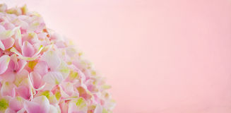 Pink hydrangea flowers with copy space Royalty Free Stock Image