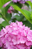 Pink Hydrangea Flowers in front of Green Leaf Background Royalty Free Stock Images