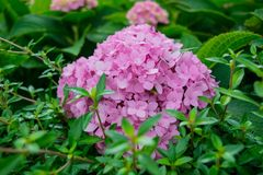 Pink hydrangea flowers Stock Photo