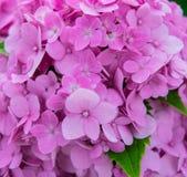 Pink hydrangea flowers Stock Image