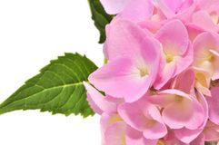 Pink Hydrangea Flowers with Green Leaves royalty free stock photos