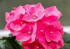 Pink Hydrangea flowers, hortensia bush plant  close up  Royalty Free Stock Image