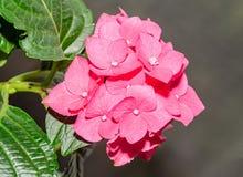 Pink Hydrangea flowers, hortensia bush plant close up.  stock photo
