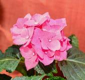Pink Hydrangea flowers, hortensia bush plant  close up  Royalty Free Stock Photo