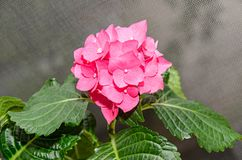 Pink Hydrangea flowers, hortensia bush plant close up.  stock photography