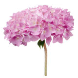 Pink Hydrangea Flowers Isolated on White Background Stock Photography