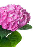 Pink hydrangea flowers Royalty Free Stock Image