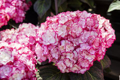 Pink hydrangea flowers. Royalty Free Stock Photography