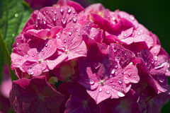 Pink Hydrangea Flowers with Rain Drops Stock Image