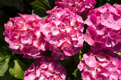 Pink Hydrangea Flowers with Rain Drops Royalty Free Stock Images