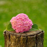 Pink Hydrangea Flowers on Tree Stump Stock Images