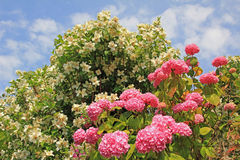 Pink hydrangea and fragrant jasmine bush Stock Photos
