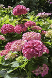 Pink hydrangea in garden Royalty Free Stock Image