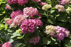 Pink hydrangea in garden Royalty Free Stock Images