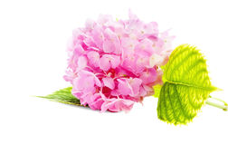 Pink Hydrangea from the garden on white Stock Photo