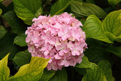 Pink Hydrangea or Hortensia flower Stock Photo