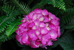 Pink Hydrangea Hortensia flower Stock Photography