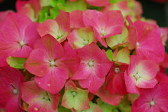 Pink Hydrangea Hortensia flower Stock Images