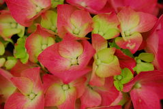 Pink Hydrangea Hortensia flower Royalty Free Stock Photos