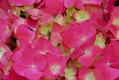 Pink Hydrangea Hortensia flower Royalty Free Stock Images