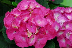 Pink Hydrangea Hortensia flower Royalty Free Stock Photo