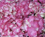 Pink Hydrangea Hortensia flower in color variations ranging from light pink to fuchsia color stock images
