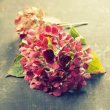 Pink hydrangea Royalty Free Stock Image
