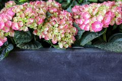 Pink hydrangea or Hydrangea macrophylla with copy space. Horizontal. Close-up Royalty Free Stock Photos
