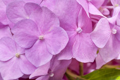 Pink hydrangea with leaves as background Stock Photography