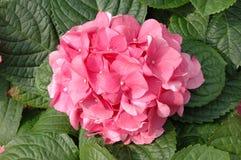Pink hydrangea macrophylla Royalty Free Stock Image