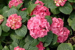 Pink hydrangea macrophylla Royalty Free Stock Photography