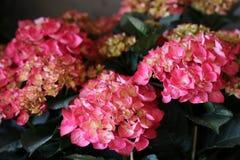 Pink hydrangea or Hydrangea macrophylla background. Horizontal. Close-up Stock Image